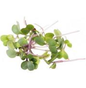Семена микрозелени Капуста Кольраби